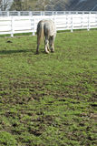 White horse grazing in field Stock Photography
