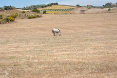 Horse grazing in a field during very hot day. Andalucia, Andalusia, Spain. Europe. royalty free stock photo