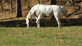 White Horse Grazing in a Field Camp Creek State Park & Forest WV stock video