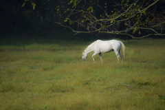 Beautiful White Horse Grazing Stock Photo