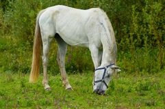 White horse grazing in a field next to the river IJssel near the town of Wijhe and the city of Zwolle Stock Images