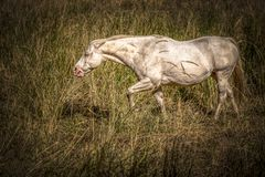 White horse grazing on grass. Stock Photo