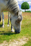 White horse grazing on a green meadow Stock Photos