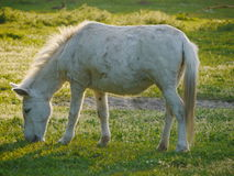 White horse grazing green meadow Royalty Free Stock Photo
