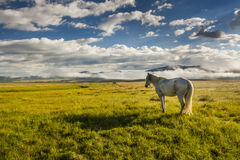 White horse grazing on a green meadow Stock Photography