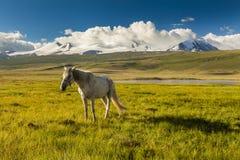 White horse grazing on a green meadow Stock Photos