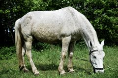 White horse grazing on a green meadow in a summer day stock images