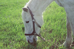 White horse grazing have a bright fresh grass Royalty Free Stock Images