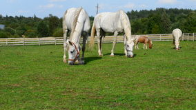 White horse grazing stock video footage