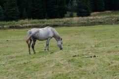 White horse Royalty Free Stock Photo