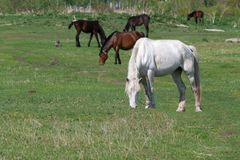 White horse grazing in a meadow royalty free stock photos
