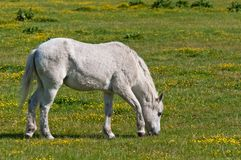 White horse grazing in the meadow Royalty Free Stock Photos