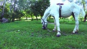 White horse grazing stock video