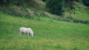 White horse grazing in meadow. White horse grazes in sunny meadow stock footage