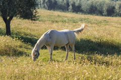 White horse grazing in the meadow Stock Photography