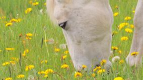 White horse grazing on the pasture with dandelions, close up