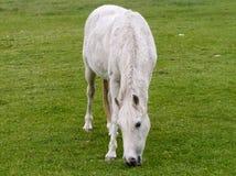 White Horse grazing Stock Photo