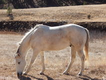 White horse. Grazing in Southern Colorado meadow Royalty Free Stock Photo