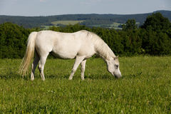 White horse is grazing in a spring meadow Stock Photo