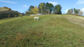 White horse grazing. Summer day. Nature Royalty Free Stock Photo