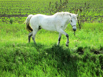 White horse on grazing Royalty Free Stock Image