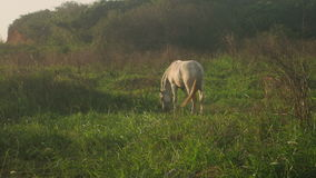 White Horse grazing at sunset. Shot of a White Horse grazing at sunset stock video
