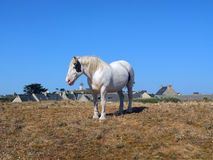 White horse grazing. Stock Photography