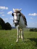 White horse in green field. White horse with blinker and saddle in green countryside field with blue sky and cloudscape background royalty free stock photos