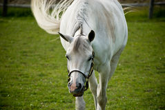 White horse in green field Royalty Free Stock Photo