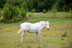 White Horse in a Green Field of Grass Stock Photography