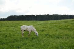 White horse on green field Stock Image