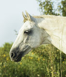 White horse is on a green field Stock Photo