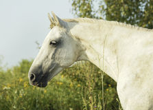 White horse is on a green field Stock Photography