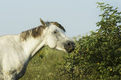 White horse is on a green field Royalty Free Stock Photo