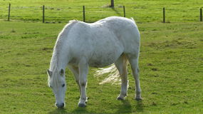 White Horse. On the green grass Royalty Free Stock Photo