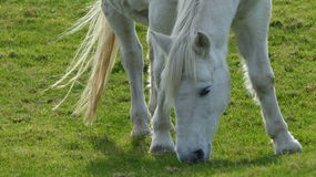White Horse. On the green grass closer look stock photos