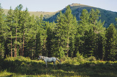 White horse on green grass in mountain. Natural photo. White horse grazing in a meadow in the woods on a background of green trees Royalty Free Stock Photography
