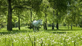White horse at the green meadow. White horse stands at the green meadow stock footage