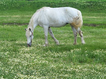 White horse on a green meadow in summer day Royalty Free Stock Photo
