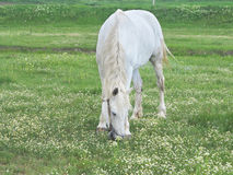 White horse on a green meadow in summer day Royalty Free Stock Image