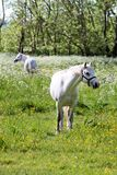 White horse on green pasture Stock Image