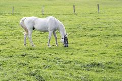 White horse, a grey gelding, grazing in the green pasture, copy. Space royalty free stock images