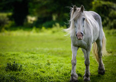 White horse (a grey) walking toward camera Royalty Free Stock Images