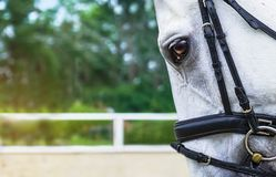 White horse half face looking forward on show jumping or dressage competition, green blur background. Royalty Free Stock Images