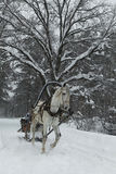 White horse in harness on the forest road in winter stock images