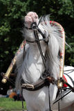 White horse. In harness shows his temper Royalty Free Stock Photo