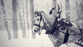 White horse in a harness. Stock Photography