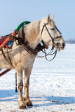 White horse with harness in winter day Royalty Free Stock Images