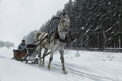 White horse in harness on the woodside road in winter.  Stock Image