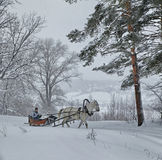 White horse in harness on the woodside in winter.  Stock Photo